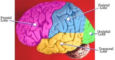 Четыре доли мозга